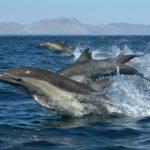 sea-of-cortez-dolphins